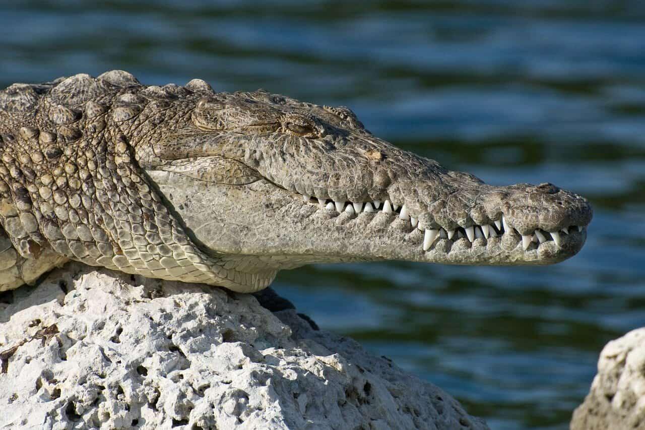 Gady naczelne – krokodyle